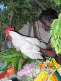 The 4th manifestation, a live cock, is put on the asura`s body. Skanda Sashti at Tiruchendur.