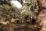 Palmtrees in Siwa