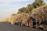 Tractors with sugar cane near Luxor
