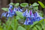virginia bluebells.jpg