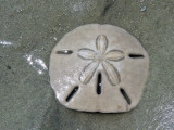 keyhole urchin.jpg