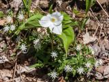 white trillium and star chickweed