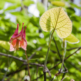 wild columbine with young moonseed leaf