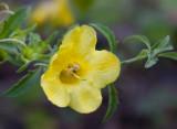 Large-Flowered False Foxglove