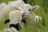 Nuzzling Lambs