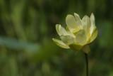 A Lotus Blossom
