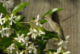 Smelling and tasting the Jasmine