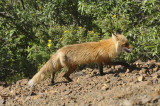 The Little Red Fox