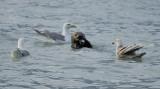Sea Otter enjoying the Salmon meal
