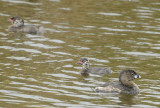 Pied-Billed Grieb Family