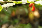 Berries from the Coast Fairy Bells wildflowers