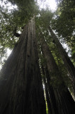 Under the Tall Redwoods