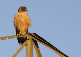 A Red Tailed Hawk watching the sunset