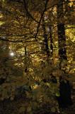 Sunrise through the Dogwood