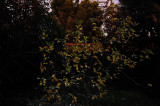 Moon Lit Apple Leaves
