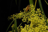 Bee on the flowering Willow Tree flowers