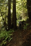 Hiking under the Redwoods