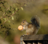 Squirrel enjoying its Christmas treat