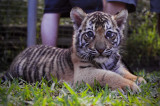 Dreamworld Tiger Cubs