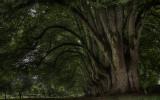 300 years old trees in noirlac.jpg