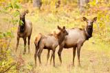 Calf on cow elk