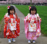 cherry blossoms - april 2
