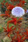 Blue Lace Flower in King's Park Botanical Garden