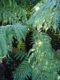 D.australis