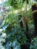 Dicksonia antarctica,fibrosa and squarrosa.
