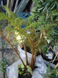 cyathea tomentoissima