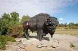 Bison di depan  Fort Calgary