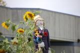 penjaga kebun bunga matahari