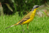 Yellow Wagtail - come here at winter
