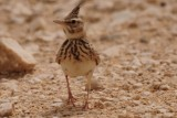 Crested Lark - can be found in stony area