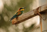 Bee Eater - sitting in the poles