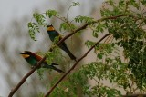 Bee Eater - a pair