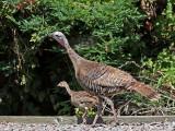 Wild Turkeys _7226392.jpg