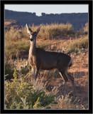 Canyonlands NP Mule Deer #1