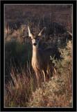 Canyonlands NP Mule Deer #2