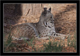 Actually not a great cat, just a bobcat resting in the shade