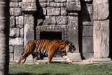 IMG_6256_el magnífico tigre de Sumatra.jpg