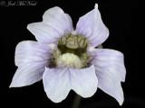 Blueflower Butterwort:  Pinguicula caerulea