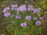 Wild Bergamot: Monarda fistulosa
