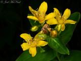Blue Ridge St.-John's-wort: Hypericum mitchellianum