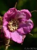 Flowering Raspberry: Rubus odoratus