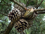 Table Mountain Pine: Pinus pungens, mature cones