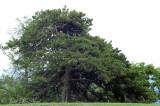 Table Mountain Pine: Pinus pungens