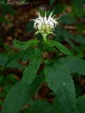 White Bergamot: Monarda clinopodia