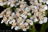 Yarrow: Achillea millefolium