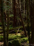 Understory of spruce/fir forest